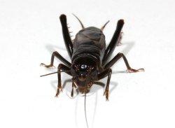 画像1: 関東産クロツヤコオロギ老齢幼虫5匹セット