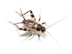 画像1: カワラスズ・中齢〜老齢幼虫 6匹セット