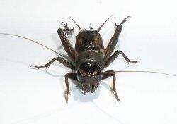 画像2: ムニンエンマコオロギ 若令〜中齢幼虫 8匹セット