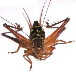 画像1: キマダラマツムシ〔マダラコオロギ〕幼虫5匹セット