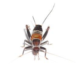 画像1: ヒルギカネタタキ ペア (国内最美麗種)西表島産