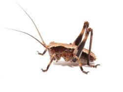 画像1: ツシマフトギス 若齢幼虫6匹 セット