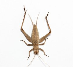 画像1: マツムシ・幼虫8匹セット(中〜亜終齢くらいまでmix)
