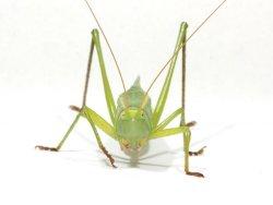 画像1: オオクサキリ(とても貴重な鳴く虫)