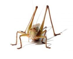 画像1: ヒガシキリギリス高原性亜長翅型 成虫(珍)
