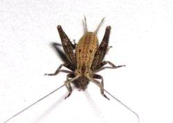 画像1: オキナワマツムシ 中令幼虫6匹セット〔マツムシの亜種で大型〕