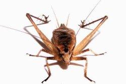 画像1: マツムシ・ペア ・天然個体・まだ若い成虫