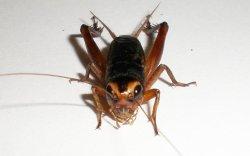 画像1: 南西諸島産タイワンエンマコオロギ 若齢幼虫10匹セット