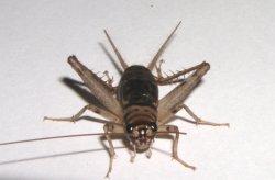 画像1: カマドコオロギ 若齢幼虫 12匹セット