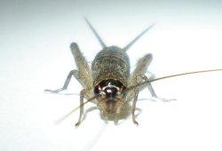 画像1: ネッタイオカメコオロギ若齢幼虫 6匹セット