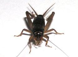 画像1: ヒメコガタコオロギ・若齢幼虫 6匹セット