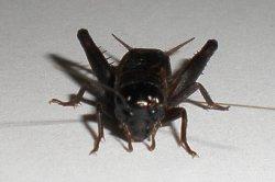 画像1: マメクロコオロギ 若齢幼虫8匹セット